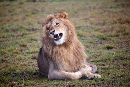 Male Lion roaring, Masai Mara National Reserve, Kenya,East Africa Reklamní fotografie - 37672995