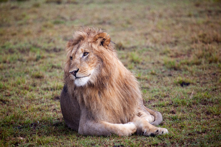 east africa: Male Lion Looking, Masai Mara National Reserve, Kenya,East Africa