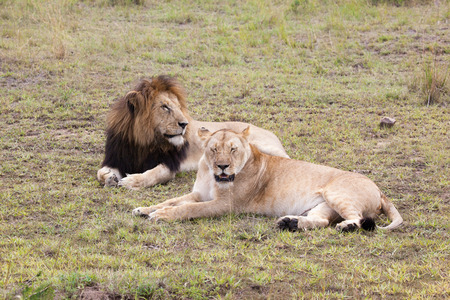 Male and female lion pair lying on green grass, Masai Mara Reserve Kenya, East Africa