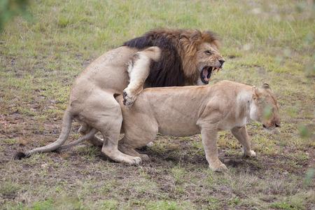 cabeza de mujer: Dos leones de apareamiento, Masai Mara Reserve, Kenia, �frica Oriental Foto de archivo