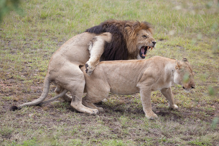 Two lions mating, Masai Mara Reserve, Kenya, East Africa photo