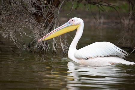 great white pelican: Great White Pelican swimming in the water, Lake Narasha National Park, Kenya, East Africa