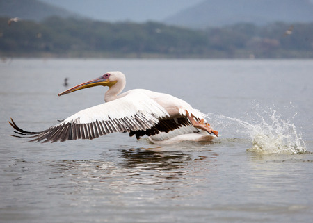 Great White Pelican flight over water, Lake Narasha National Park, Kenya, East Africa Reklamní fotografie