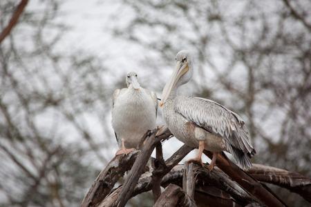 east africa: Great White Pelican on the tree branch, Lake Narasha National Park, Kenya, East Africa