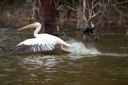 great white pelican: Great White Pelican flight over water, Lake Narasha National Park, Kenya, East Africa Stock Photo