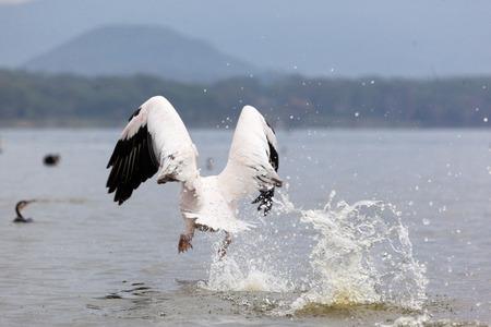 swoop: Great White Pelican flight over water, Lake Narasha National Park, Kenya, East Africa Stock Photo