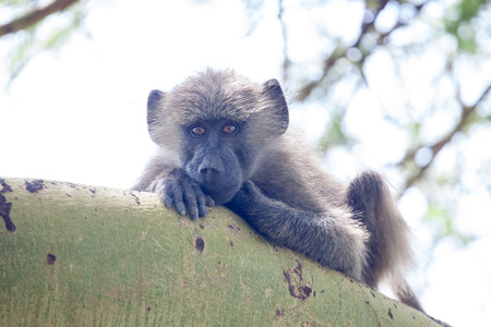 Vervet monkey sitting on branch and looking, Lake Manyara National Park, Tanzania, East Africa
