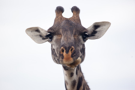 Masai giraffe head, Serengeti National Park, Tanzania, East Africa Reklamní fotografie - 37682601