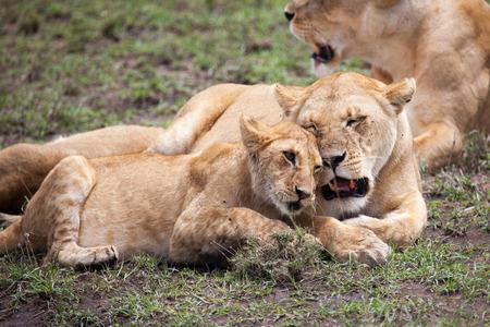 east africa: Lioness and cub rubbing heads in Masai Mara Reserve, Kenya, East Africa