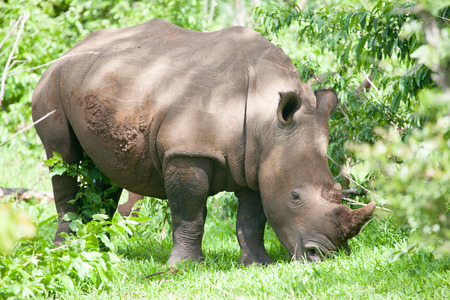White Rhino grazing on grass in Mosi-oa Tunya Nation Park, Zambia, Africa