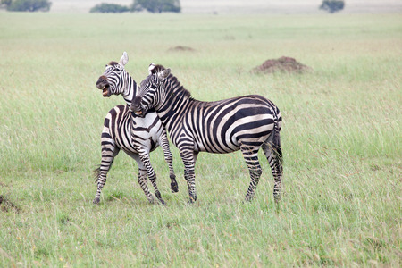 conservation grazing: Two Zebras Fighting in Serengeti National Park, Tanzania, East Africa Stock Photo