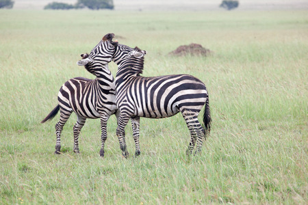 Two Zebras Fighting in Serengeti National Park, Tanzania, East Africa Reklamní fotografie - 37683588
