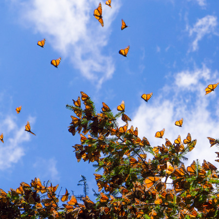 mariposa: Monarch Butterflies on tree branch in blue sky background in Michoacan, Mexico