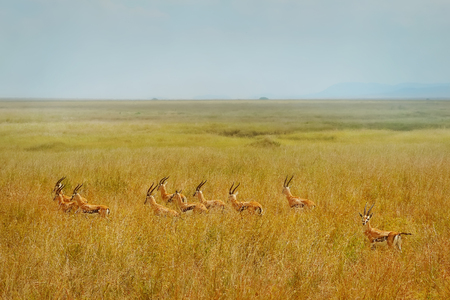Herd of Thomsons gazelle (Eudorcas thomsonii) running away on African landscape background.