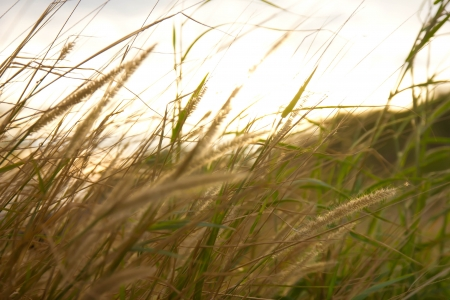 grasses: Yellow grasses on summer day,golden meadow Stock Photo