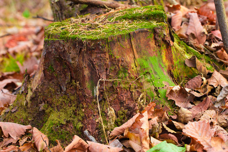 A mossy tree stump in a deciduous leaf