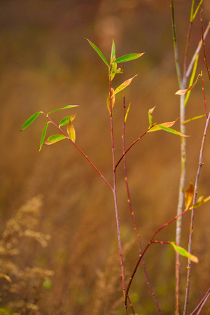 Green willow leaves in autumn