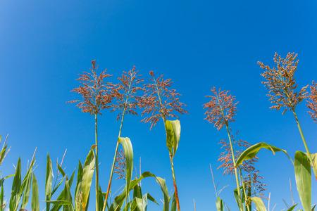 Harvest sorghum