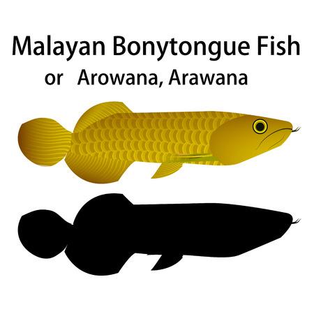 arowana: Malayan Bonytongue fish