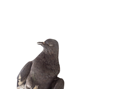 Dead pigeon isolated on white background 版權商用圖片 - 88915749