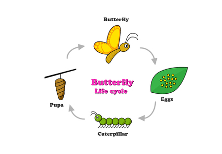 Butterfly life cycle in colorful style, vector design