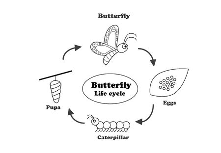 Butterfly life cycle in outline style for coloring, vector