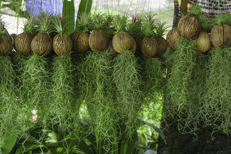 Hanging green Spanish moss in garden design