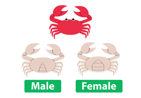 Difference between male and female crabs, vector art Çizim