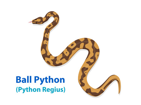 Realistic Ball Python snake in vector art design, top view