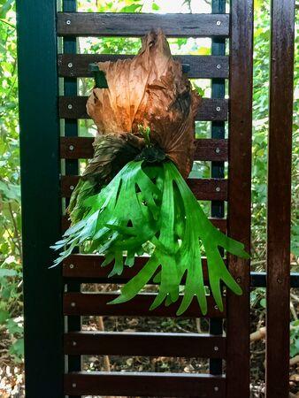 Hanging Polypodium polycarpon fern in Thailand