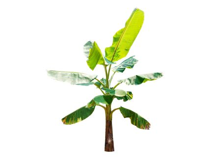 Isolated banana tree on white background 免版税图像 - 141256604