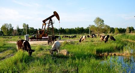 Vaches qui paissent à côté d & # 39 ; une pompe à huile Banque d'images - 97421361