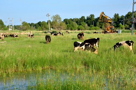 Cows grazing beside an oil derrick pump Banque d'images - 97748410