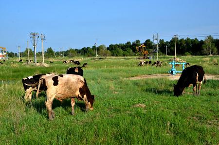 Cows grazing beside an oil derrick pump Banque d'images - 97748418