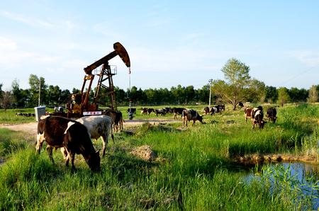 Cows grazing beside an oil derrick pump
