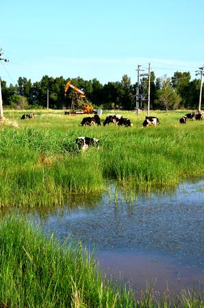 Vaches qui paissent à côté d & # 39 ; une pompe à huile Banque d'images - 98057242
