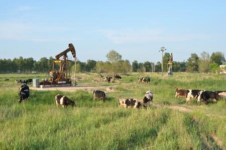 Vaches qui paissent à côté d & # 39 ; une pompe à huile Banque d'images - 98078113