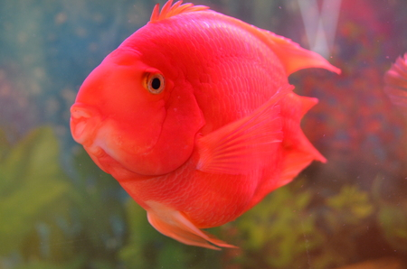 Blood parrot cichlid in water