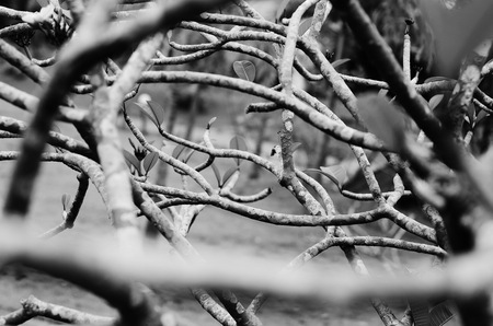 formal garden: vector seamless texture of the branches on the black and white background Stock Photo