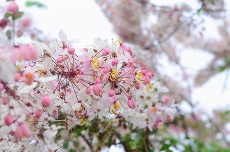 cassia: Cassia fistula flower pink Stock Photo