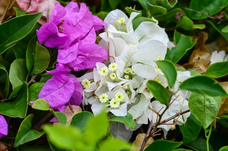 Summer tropical bougainvillea shrubs in bloom