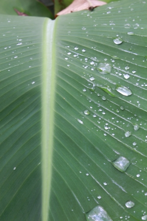 Banana leaf Stock Photo - 14845166