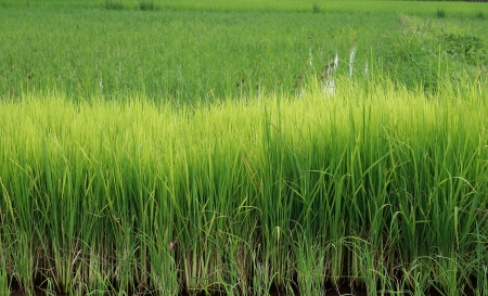 Thai rice farms. photo