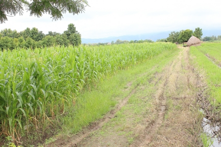 zea: Corn plantation in Thailand Stock Photo