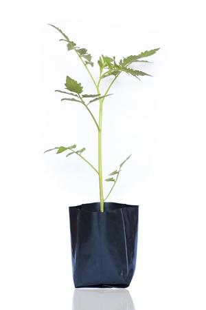 Tomato plants photo