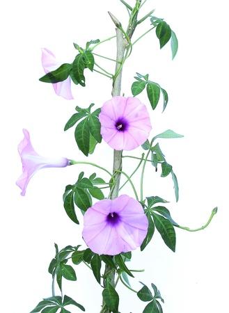 sepals: Purple flowers