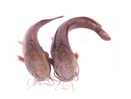sheatfish: bagre