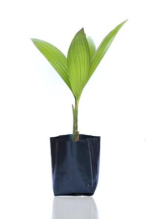 coconut seedlings: tree