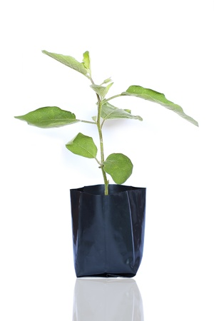 tree eggplant
