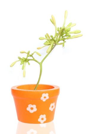 papaya flower:  Flowers white Stock Photo